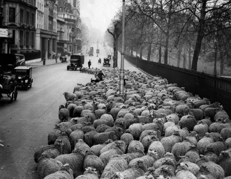 A flock of 600 sheep being led down Piccadilly at six o'clock in the morning, from Hyde Park to Green Park, London. (Photo by Fox Photos/Getty Images)